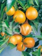 Mandarino 179151