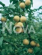 Nashi 179473