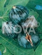 Brogiotto nero 179600