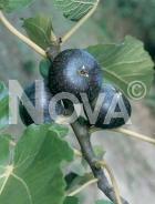Brogiotto nero 179610