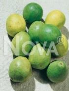 Guava 179625