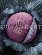 Cavolo capp. cabeza negra 10-256