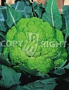 Cavolfiore verde di macerata 10-303