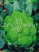 Cavolfiore verde di macerata 10-304