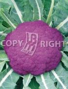 Cavolfiore violetto di sicilia A-2198