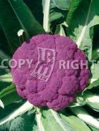 Cavolfiore violetto di sicilia A-2199