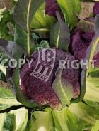 Cavolfiore violetto di sicilia A-2726