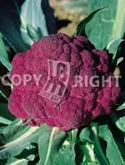 Cavolfiore violetto catanese A-443