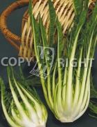 Cicoria catalogna puntarelle di galatina A-2235