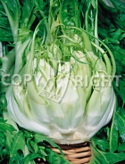 Cicoria catalogna pigna bianca A-814