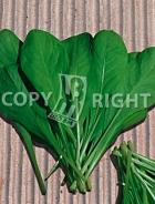 Cicoria bionda da taglio a foglie larghe 12-444