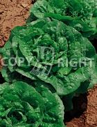 Lattuga mortarella verde d'inverno 17-772
