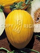 Melone amarillo oro A-205