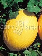 Melone amarillo oro A-870