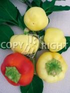 Peperone giallo botinecka A-1994