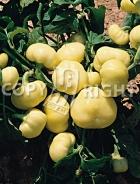 Peperone giallo botinecka A-226