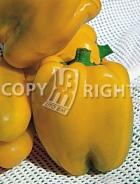 Peperone giallo golden calwonder A-364