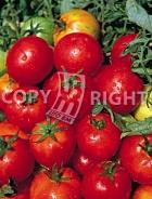 Pomodoro campbell 33 A-699
