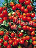 Pomodoro a grappoli d'inverno A-233