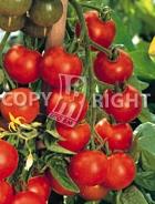 Pomodoro a grappoli d'inverno A-544