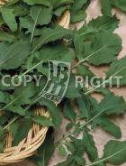 Rucola coltivata A-1650