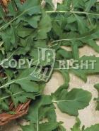 Rucola coltivata A-1651