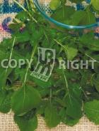 Rucola coltivata A-2302