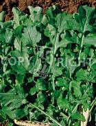 Rucola coltivata A-282