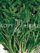 Rucola selvatica 31-1094