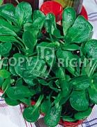 Valeriana coquille de louviers 35-1158