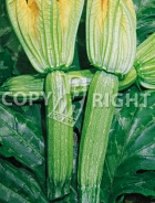 Zucchino alberello di sarzana 37-1219