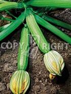 Zucchino alberello di sarzana 37-1221