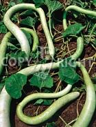 Lagenaria siceraria longissima A-1166