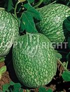 Cucurbita ficifolia - Zucca siamese A-301
