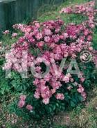 Lavender Dream 263830