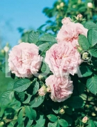 Rose inglesi 267242