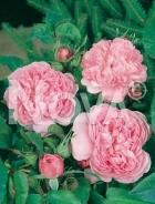 Rose inglesi 267365