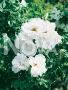 Rose inglesi 267590