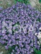 Aubrezia nana azzurra 270031-004