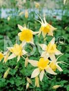 Aquilegia a fiore semplice giallo 270161