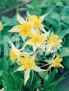 Aquilegia a fiore semplice giallo 270174-008