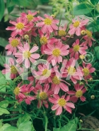 Coreopsis rosa 272007-005