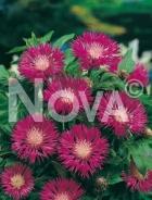 Centaurea montana rosa 272025