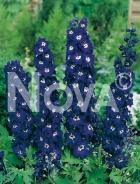 Speronella blu 273059