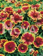 Gaillardia bicolore a grandi fiori 276031