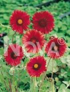 Gaillardia a fiori rossi 276036