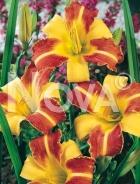 Hemerocallis ibrido giallo-rosso 277217