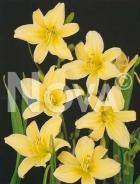 Hemerocallis giglio giallo 277220