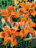 Hemerocallis giglio arancio 277221