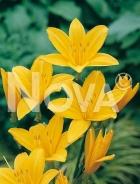 Hemerocallis giglio giallo 277245